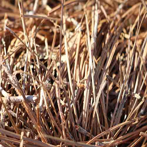 Long Leaf Pine Needles